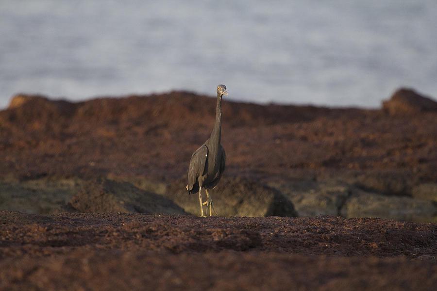 Eastern Reef Egret Photograph - Eastern Reef Egret-dark Morph by Douglas Barnard