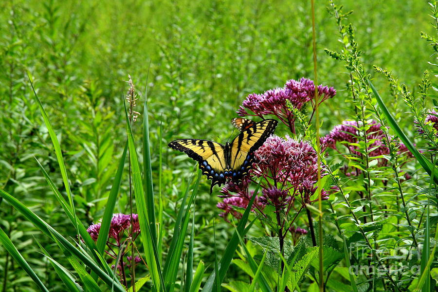Eastern Tiger Swallowtail Photograph  - Eastern Tiger Swallowtail Fine Art Print