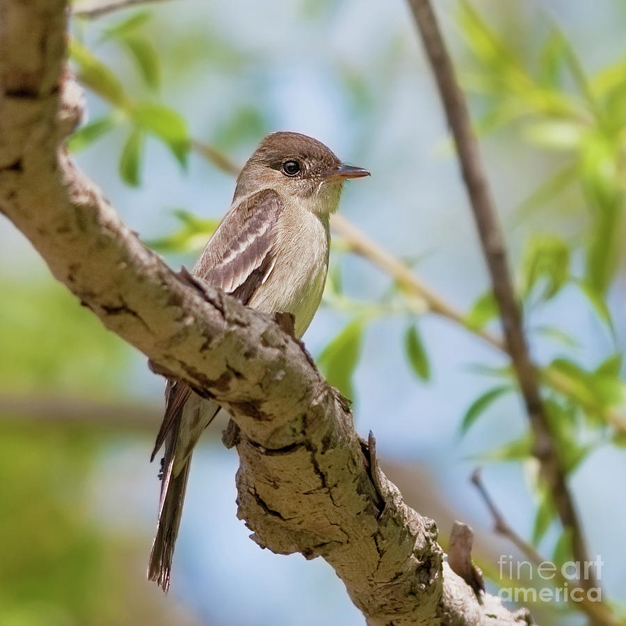 Eastern Wood-pewee.. Photograph  - Eastern Wood-pewee.. Fine Art Print