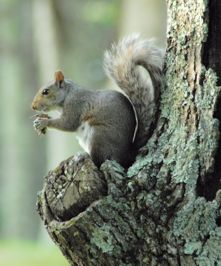 Squirrel Photograph - Eating Safely by