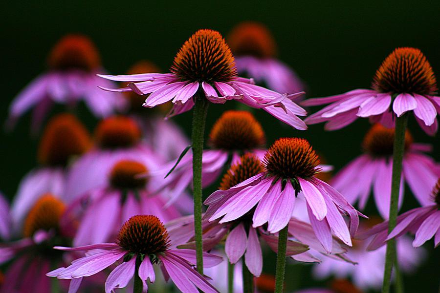 echinaceaflowersemanueltanjala ×  autumn flowers, Beautiful flower