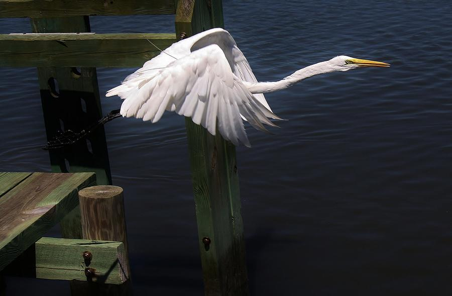Egret Coming Off The Block Photograph