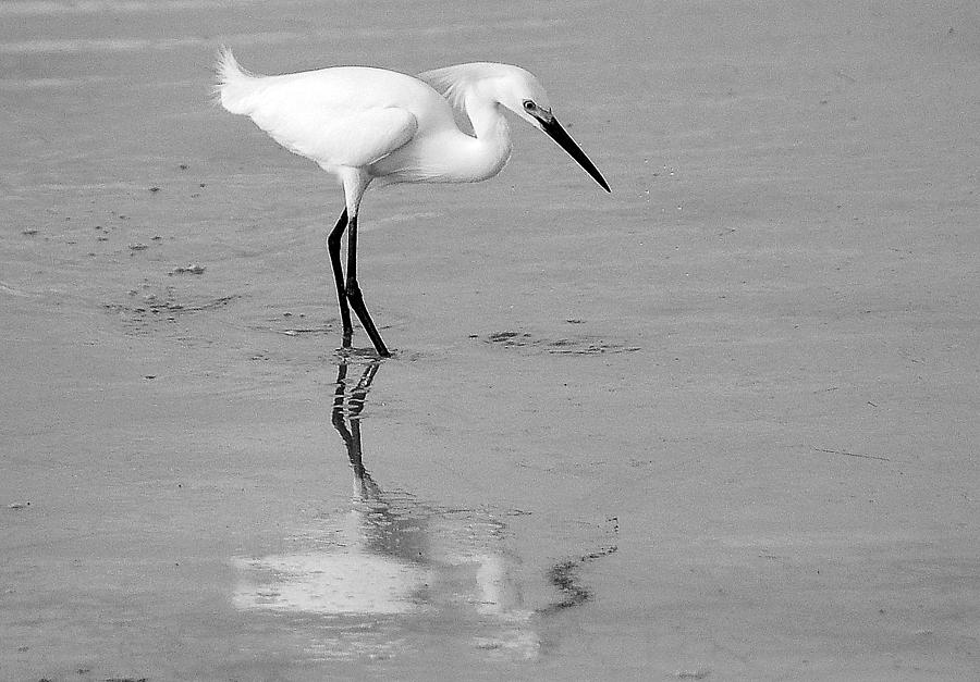 Black and white egret - photo#1