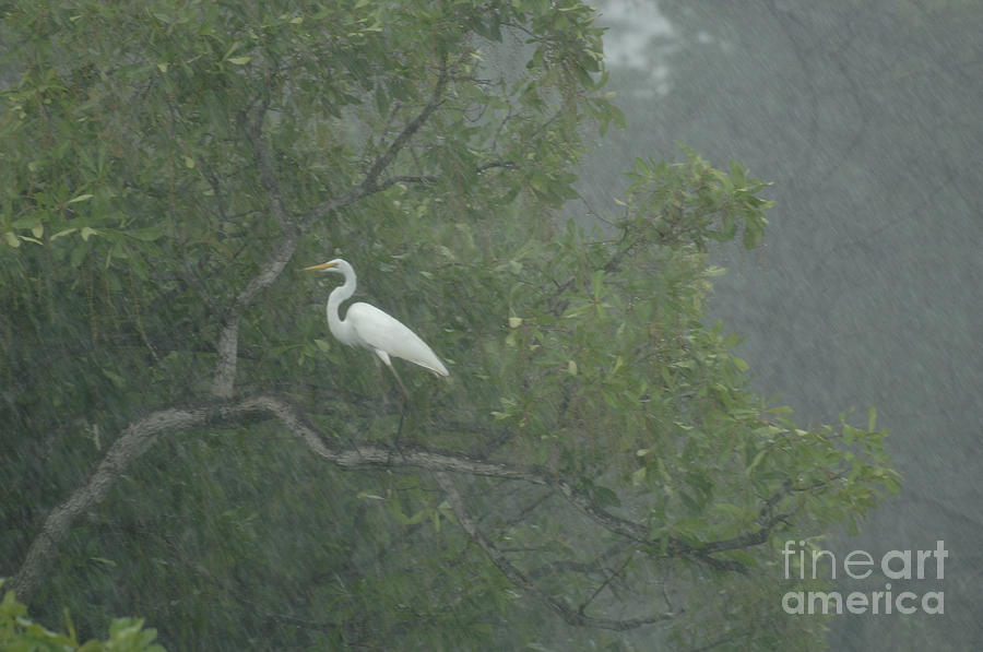 Egret In The Monsoons Photograph  - Egret In The Monsoons Fine Art Print