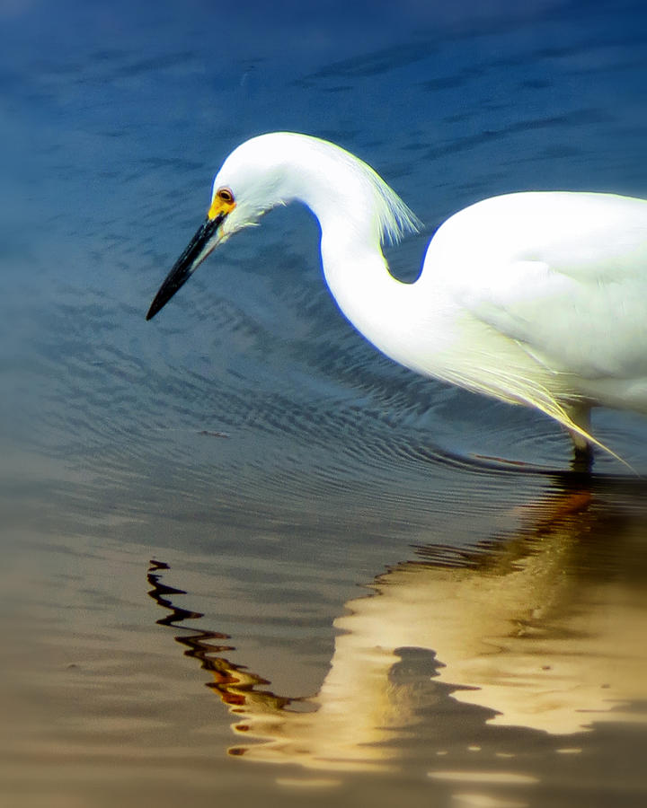 Egret Reflected Photograph