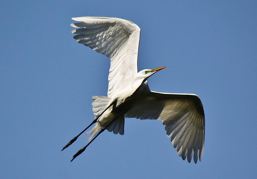 Great White Egret Photograph - Egret Soaring by Paulette Thomas