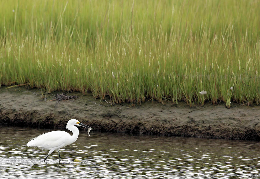 Egrets Catch Photograph  - Egrets Catch Fine Art Print