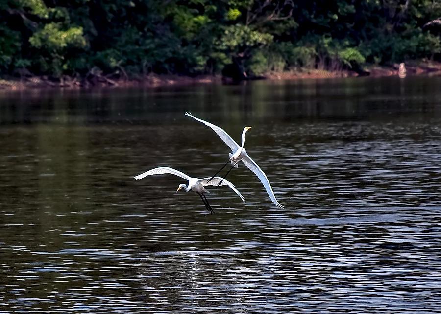 Egrets V Photograph