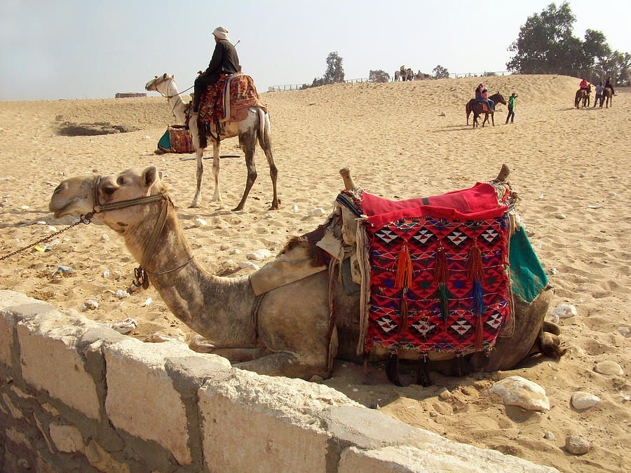 Egypt - Camel Getting Ready For The Ride Photograph