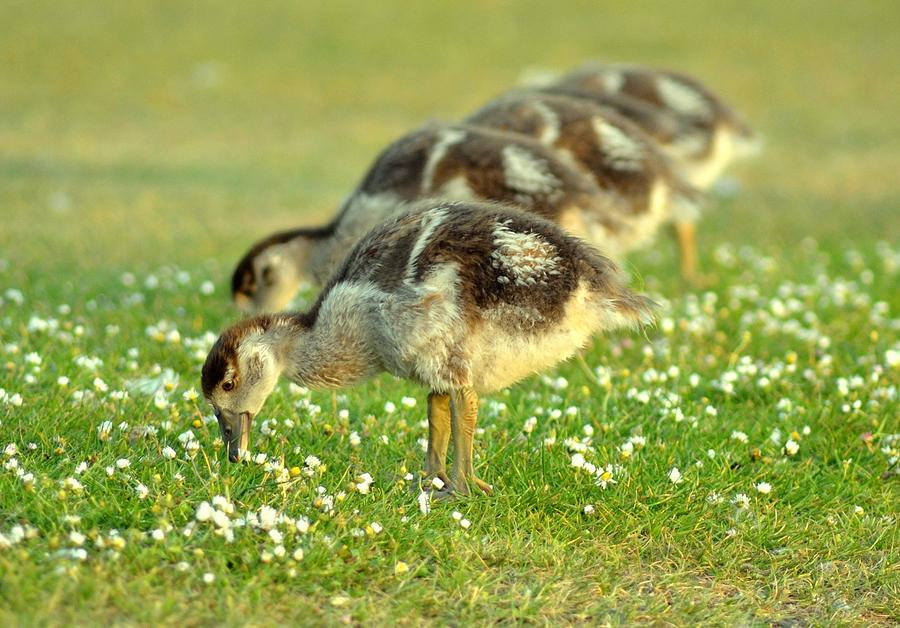 Egyptian Goslings Photograph