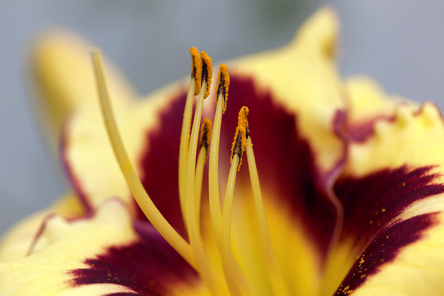 El Desperado (hemerocallis) Photograph