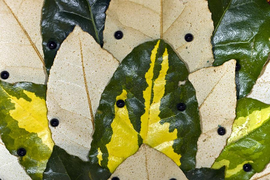 Elaeagnus Pungens Maculata Photograph - Elaeagnus Pungens maculata Leaves by Dr Keith Wheeler