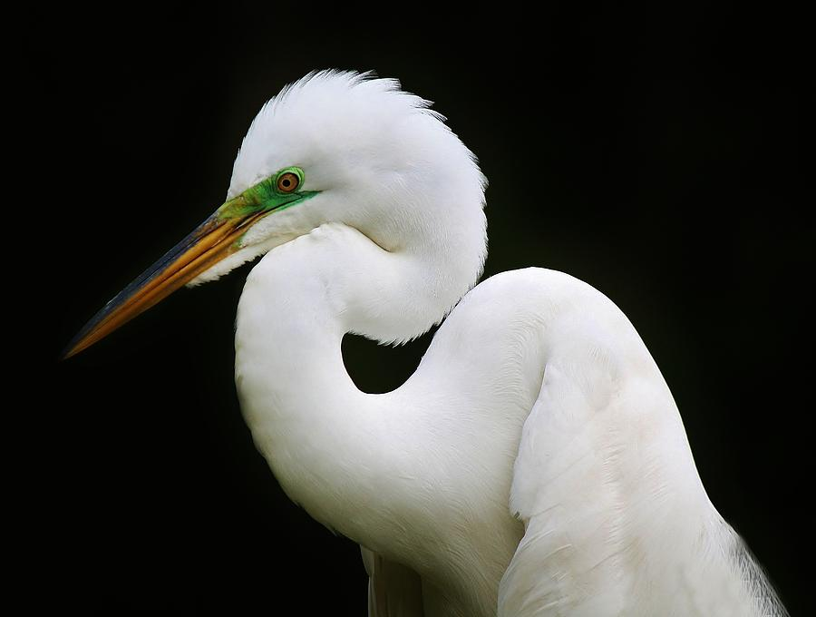 Elegant Great White Egret Photograph  - Elegant Great White Egret Fine Art Print