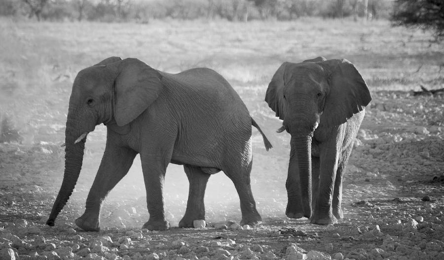 Elephant Buddies - Black And White Photograph