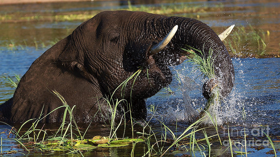 Elephant Eating Grass In Water Photograph  - Elephant Eating Grass In Water Fine Art Print