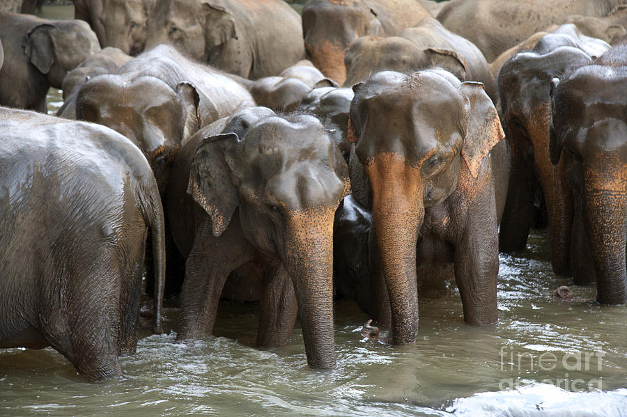 Elephant Herd In River Photograph  - Elephant Herd In River Fine Art Print