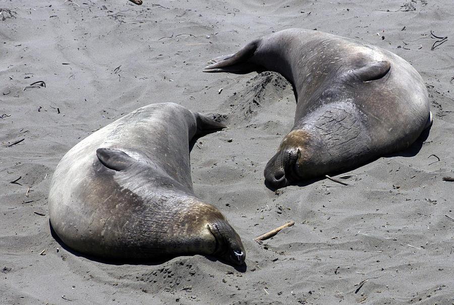 Elephant Seal Yin Yang Photograph