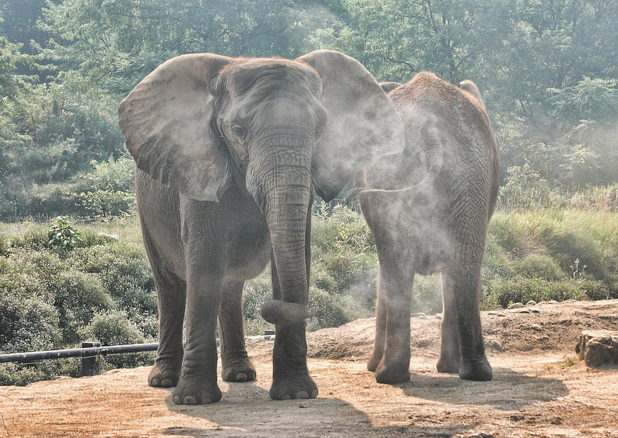 Elephants - Coming And Going Photograph  - Elephants - Coming And Going Fine Art Print