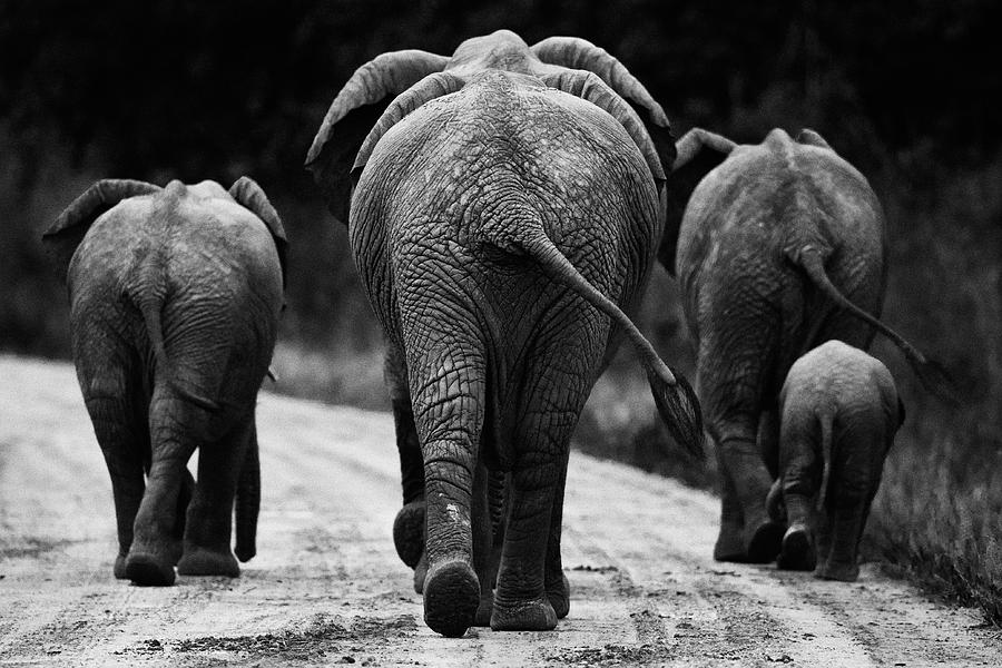 Elephants In Black And White Photograph