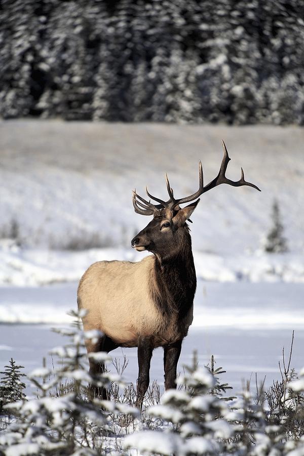 Elk Cervus Canadensis Bull Elk During Photograph