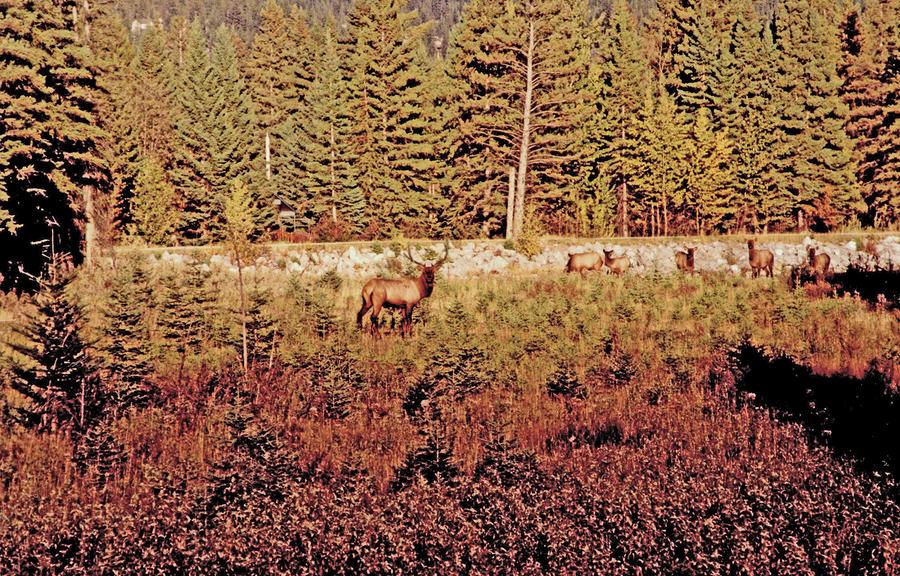 Elk Harem Photograph
