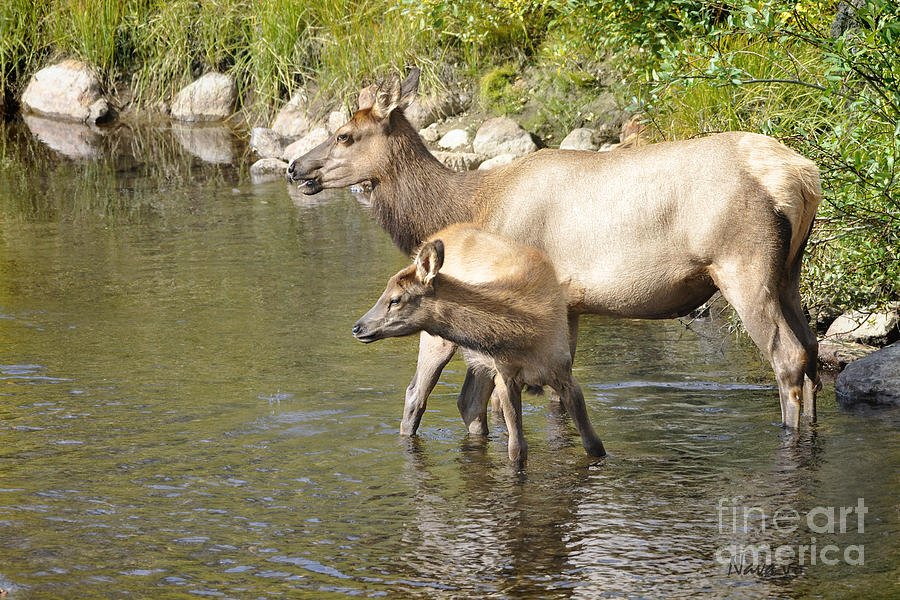 Elk In Stream Photograph