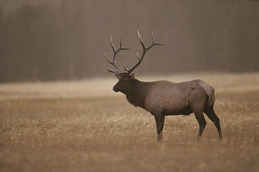 Elk Or Wapiti Bull At Sunset Photograph