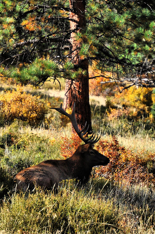 Elk Photograph - Elk Under by Emily Stauring