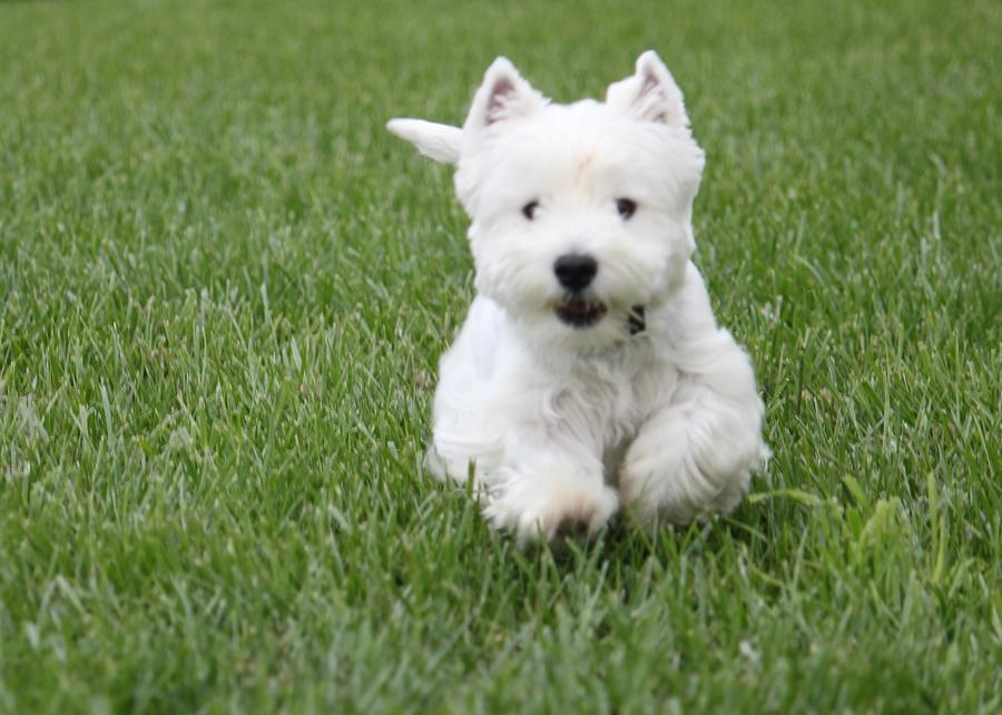 Emma The Westie On The Run Photograph