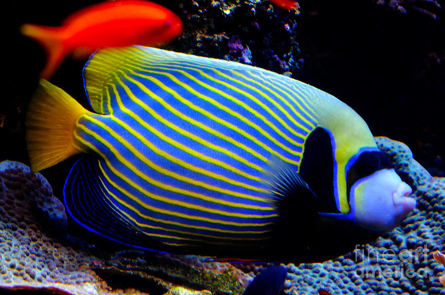 Emperor Angelfish Digital Art  - Emperor Angelfish Fine Art Print