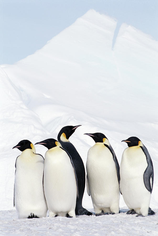 Emperor Penguins And Icebergs, Weddell Sea Photograph