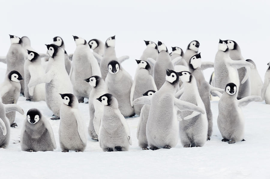 Emperor Penguins, Group Of Chicks. Photograph
