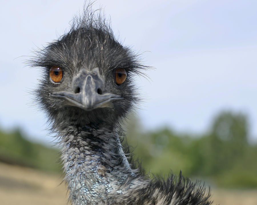 Emu Gaze Photograph  - Emu Gaze Fine Art Print