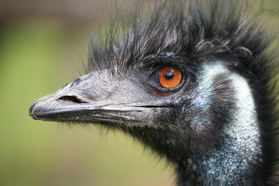 Emu Photograph