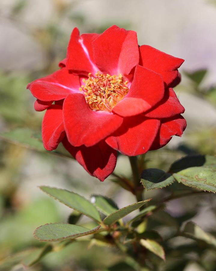 Enchanted Rose Photograph