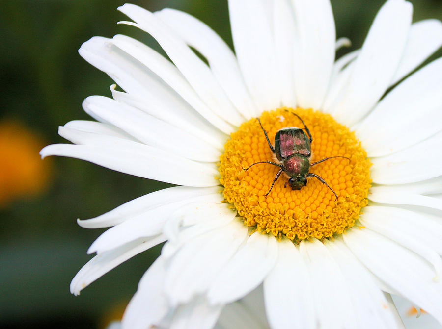 Japanese Beetle Photograph - Enemy Mine by Kristin Elmquist