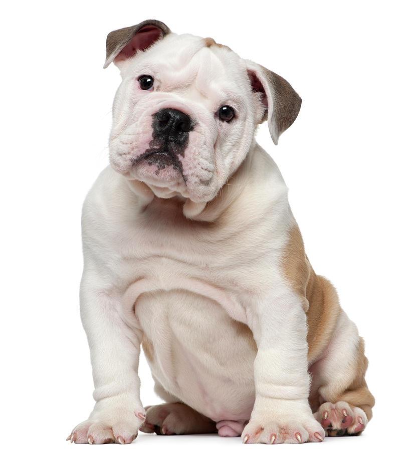 White english bulldog puppy - photo#25