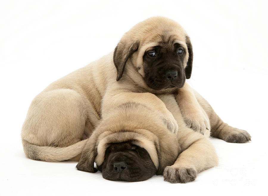 English Mastiff Puppies Photograph