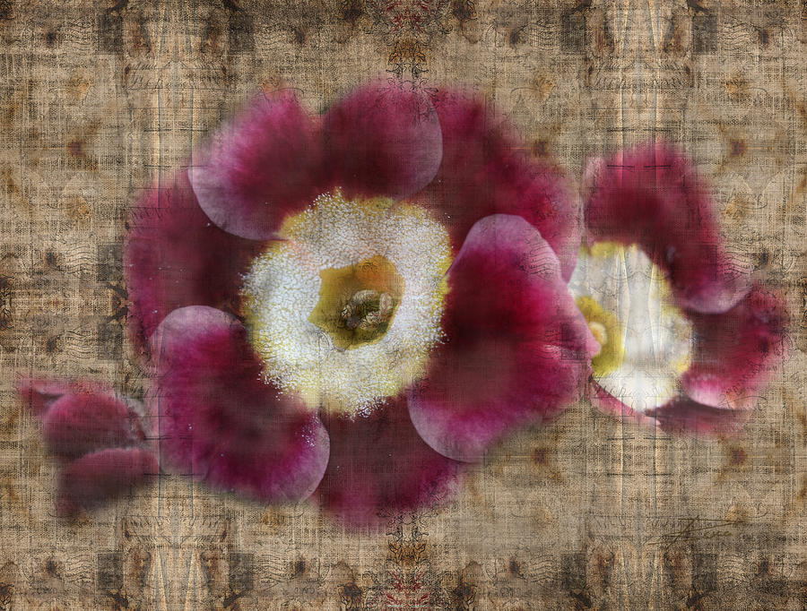 English Primrose  Photograph  - English Primrose  Fine Art Print