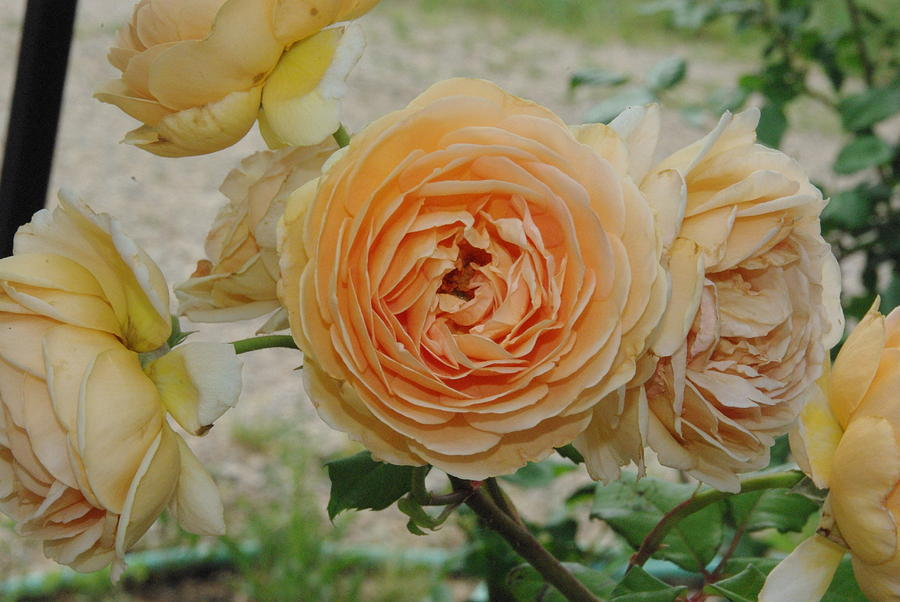 English Rose Apricot Crown Princess Margareta 2 Photograph  - English Rose Apricot Crown Princess Margareta 2 Fine Art Print
