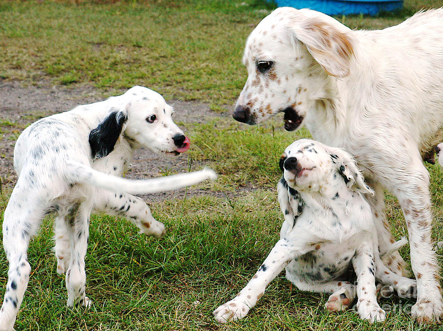 English Setter Fun Photograph