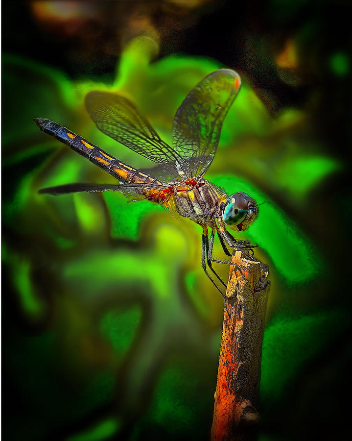 Enhanced Dragonfly Photograph