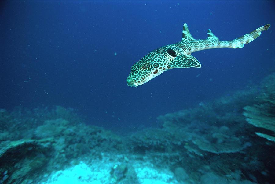 Epaulette shark epaulette shark hemiscyllium