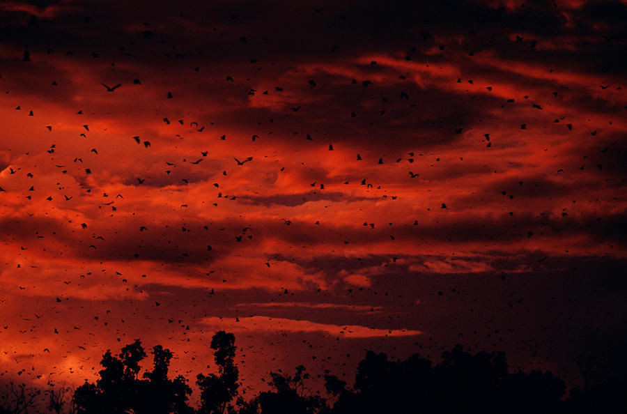 Epauletted Bats At Dusk Photograph