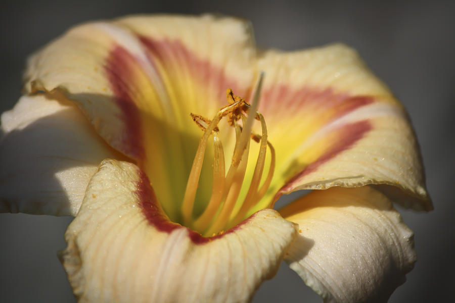 Ethel Brown Daylily 3 Photograph