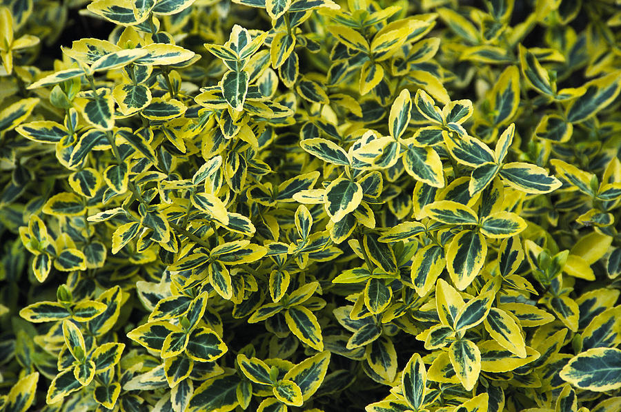 euonymus fortunei 39 emerald n 39 gold 39 photograph by archie young. Black Bedroom Furniture Sets. Home Design Ideas