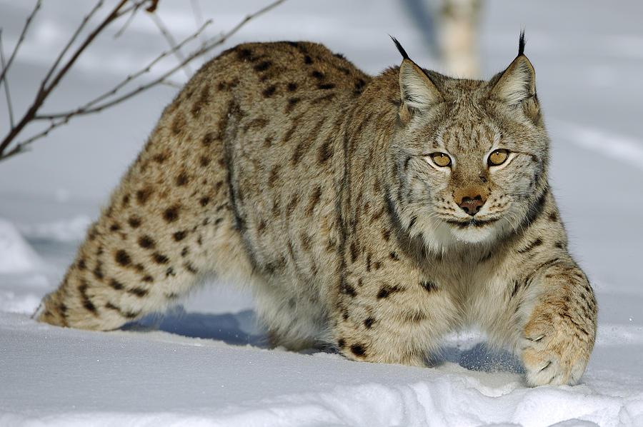 Snow leopard  Wikipedia