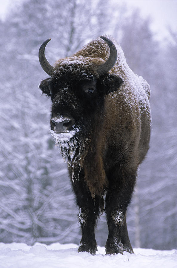 European Bison Bison Bonasus In Snow Photograph