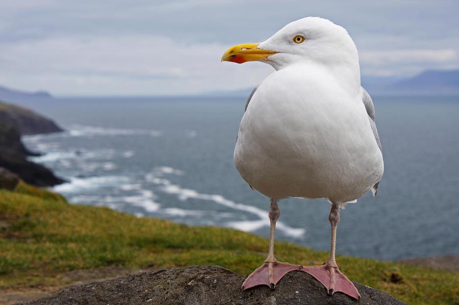 European Herring Gull Larus Argentatus Photograph