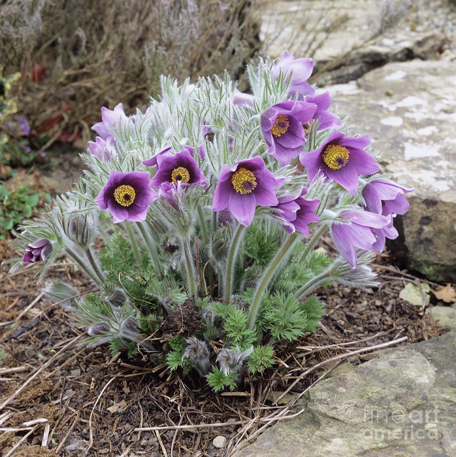 http://images.fineartamerica.com/images-medium-large/european-pasqueflower-adrian-thomas.jpg